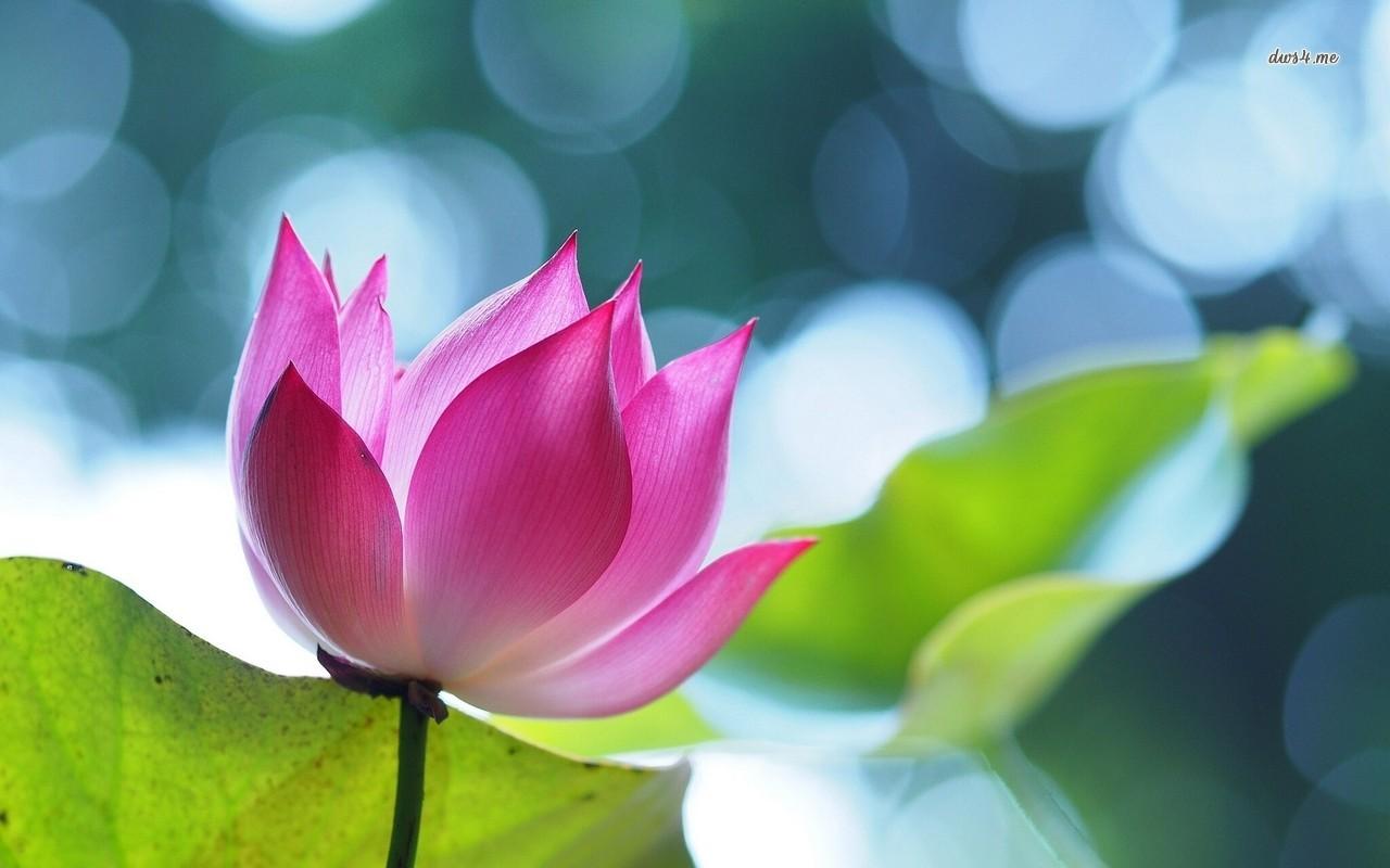 18827-lotus-1280x800-flower-wallpaper