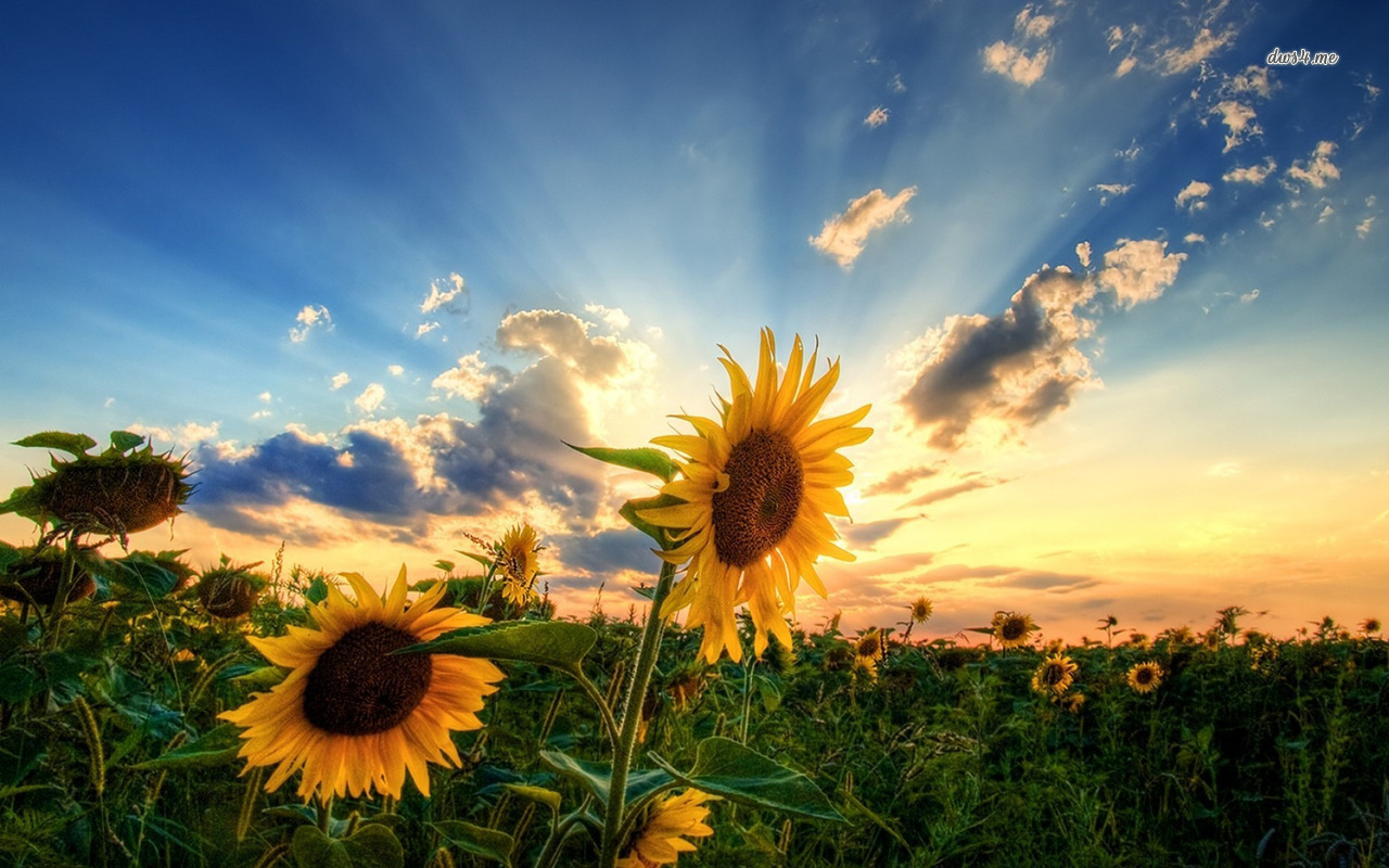 4767-sunflowers-1280x800-flower-wallpaper