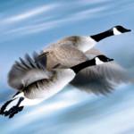 雁 V字飛行の旅